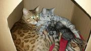 3 bengal kitten