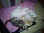6 Main Coon -
