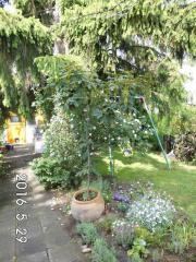 Ahornbaum sucht Garten