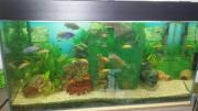 Aquarium mit Barsche