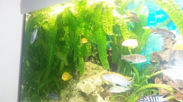 aquarium wasserpflanzen 39 genoppter wasserkelch 39 in neulu heim fische aquaristik kaufen und. Black Bedroom Furniture Sets. Home Design Ideas