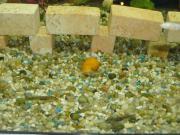 Aquariumschnecken, gelb/weiße