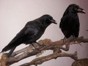 Ausgestopfter Vogel, Tierpräparat,