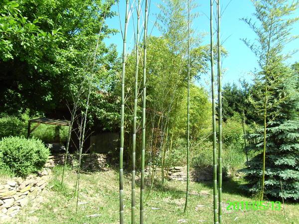 bambus versch sorten in pfinztal pflanzen kaufen und. Black Bedroom Furniture Sets. Home Design Ideas