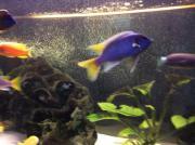 Barsche blau / gelb