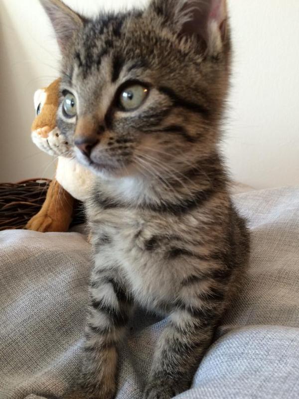 bengal bkh hybrid kitten 2 monate in bottrop katzen. Black Bedroom Furniture Sets. Home Design Ideas