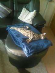 Bengal Katze sucht