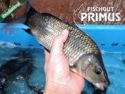 Besatzfische! 20 SK-
