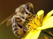 Bienen Ableger zu