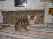 Bildhüpsche Bengal Kitten