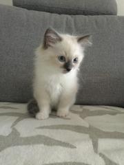 Birma Kater Kitten