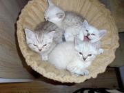 BKH-Kätzchen,Reinrassig,