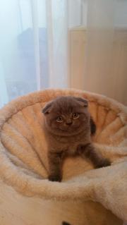 Bkh kitten suchen