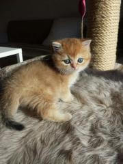 Bkh Plüschbärchen (Kitten)