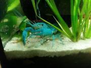 blaue Floridakrebse Procambarus