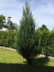 Blauer Raketenwacholder Juniperus