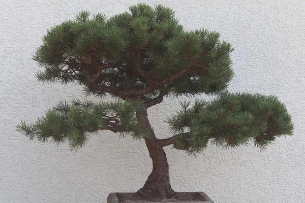 bonsai kiefer f r liebhaber in neuried pflanzen kaufen und verkaufen ber private kleinanzeigen. Black Bedroom Furniture Sets. Home Design Ideas