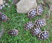Breitrandschildkröten 2 Jahre,