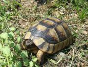 Breitrandschildkröten (Testudo marginata)