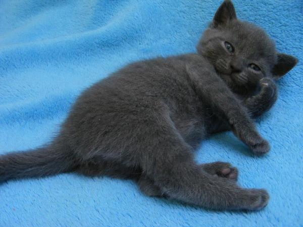 chartreux kart user kitten in mahlow katzen kaufen und verkaufen ber private kleinanzeigen. Black Bedroom Furniture Sets. Home Design Ideas