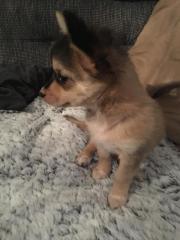Chihuahua Husky langhaar
