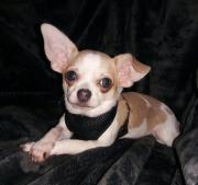 Chihuahua Mädchen mit