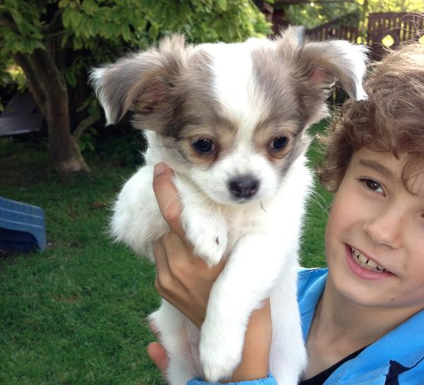 Chihuahua Pinscher Edelmix Welpen 10 Wochen In M 252 Nchen