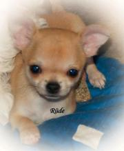 Chihuahua Welpen kleinbleibend