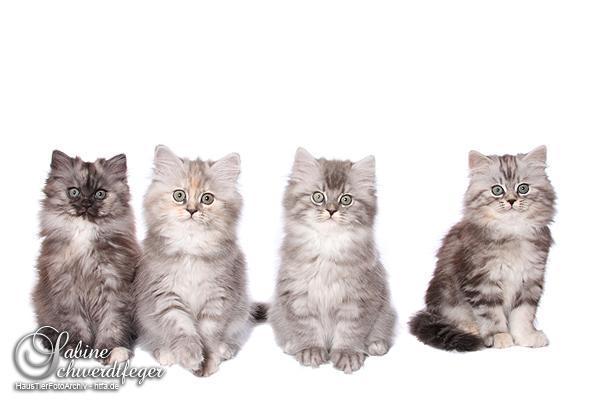 deutsch langhaar kitten suchen ihre familie in dessau. Black Bedroom Furniture Sets. Home Design Ideas
