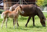 Deutsche Classic Pony