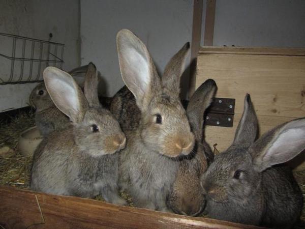 deutsche riesen kaninchen hasen deutscher riese wildfarben grau in hartha kleintiere kaufen. Black Bedroom Furniture Sets. Home Design Ideas