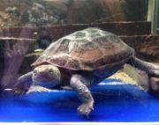 Dreikielschildkröten