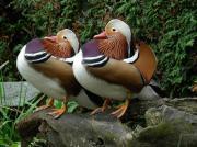 Enten-Mandarin lebende