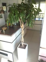 Ficus Amstel King,