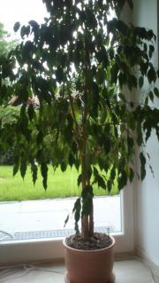 Ficus benjaminicus 2m
