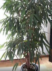 Ficus Oleanderfeige