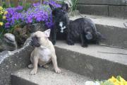 französische Bulldogge in -