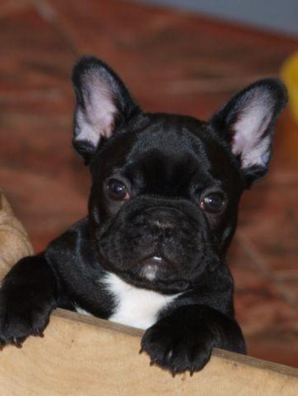 Mischling Französische Bulldogge