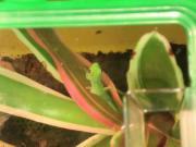 Geckos- Phelsuma Pasteuri