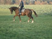 Gehobenes Freizeitpferd Dressurpferd