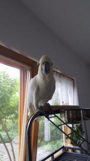 gelbhaubenkakadu papagei
