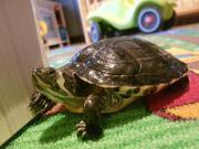 Gelbwangen Wasserschildkröten
