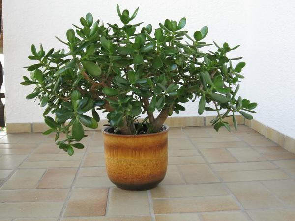 geldbaum dickblatt affenbrotbaum in stringen pflanzen. Black Bedroom Furniture Sets. Home Design Ideas