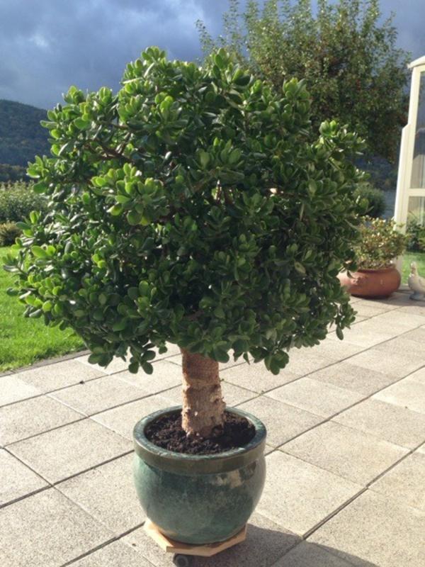 Chinesischer Geldbaum Kaufen : geldbaum fetthenne in neuwied pflanzen kaufen und ~ Michelbontemps.com Haus und Dekorationen
