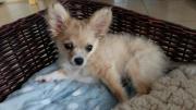 Gesunde Chihuahua langhaar