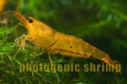 Golden Tiger - Garnelen (
