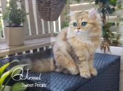 Goldige Perser Kitten