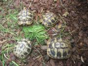 griech.Landschildkröten sowie