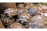 Griech. Schildkröten TH