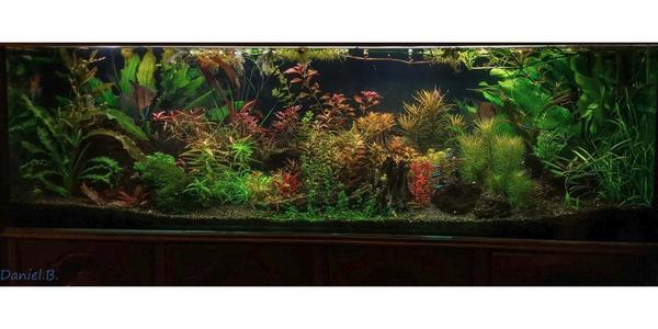 gro e auswahl wasserpflanzen aus unserem aquarienverein aquariumpflanzen aquarienpflanzen. Black Bedroom Furniture Sets. Home Design Ideas